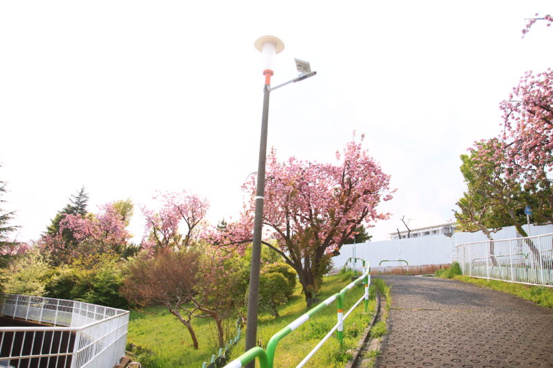 赤羽台団地 八重桜