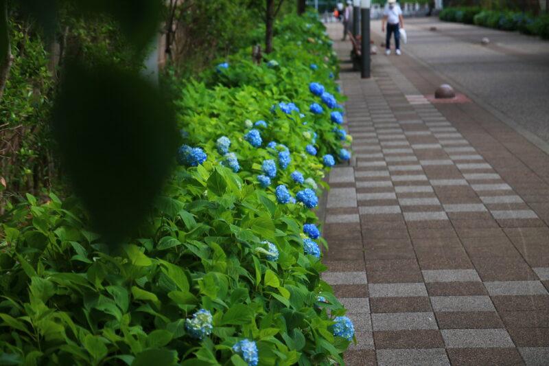 稲付遊歩道 紫陽花