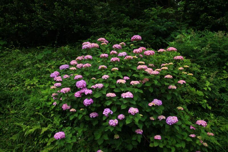 飛鳥の小径 紫陽花