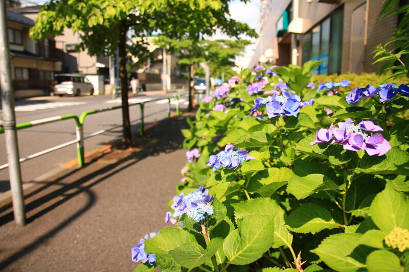 JR北赤羽駅 紫陽花